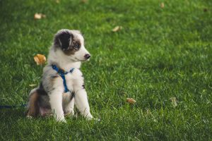How to Teach a Puppy to Walk on a Lead