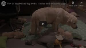 Dog Mum Teaches 8 week old puppies how to behave