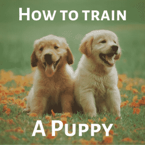 How To Train A Puppy – Everything you NEED to Know!