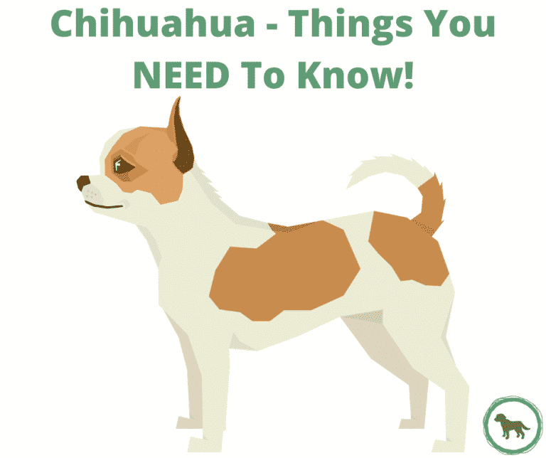 Chihuahua Dog Breed